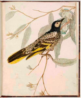 Warty face honeysucker (Regent honeyeater - Xanthomyza phrygia), 1813