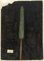 Xanthorrhoea (grass tree - Xanthorrhoea  spp), c.1806