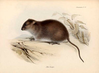 Bush Rat from The Zoology of the Voyage of HMS Beagle