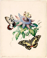Butterflies with passionfruit flower 1854