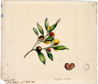 Cargillia australis