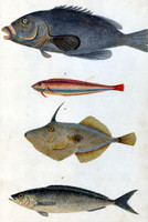 Groper (no.8); Parrot Fish (no.9); Unicorn Fish or Leather Jacket (no.10); Salmon (no.11) [eastern blue groper; Maori Wrasse; yellow-finned leatherjack