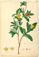 Hibbertia volubilis
