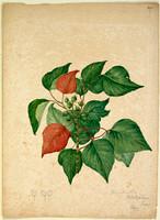 Homolanthus populifolius [Omalanthus populifolius]