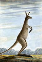 Kangaroo [eastern grey kangaroo]