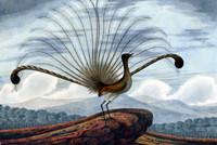 Lyrebird Mamura Superba