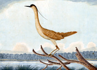 Nankeen Bird [rufous night heron]