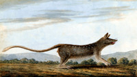 Native Cat [quoll]