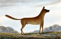 Native Dog [dingo]