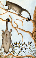 Opussum [brushtail possum]