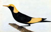 Regent [regent bowerbird]