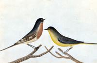 Robbins [flame robin; eastern yellow robin]