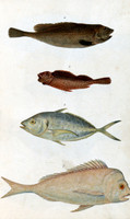 Rock Cod (no.4); Gurnett (no.5); Trevaille or Cavallia (no.6); Snapper (no.7) [river blackfish; blenny; silver trevaille; snapper]