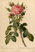 Rosa Bifera macrocarpa
