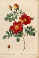 Rosa Eglanteria var punicea