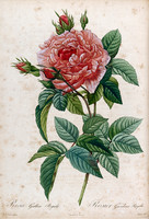 Rosa Gallica Regalis