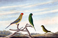 Rose Hill Parrot, Paroquet and Ground Parrot [eastern rosella; scaly-breasted lorikeet; ground parrot]