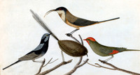Sparrow, Tom Tit, Fan Tail & Ant Killer [red-browed finch?; superb fairy wren; southern emu-wren; eastern spinebill or honeyeater]