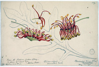 Stenocarpus sinnatus