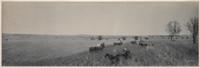 Harvesting wheat on Brundah Station, Grenfell, 1903