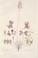 Stylidium Violaceum