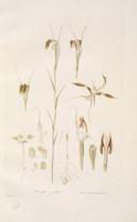 Pterostylis Grandiflora