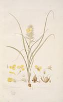 Cartonema Spicatum
