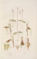 Chiloglottis diphylla