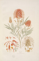 Grevillea Banksii