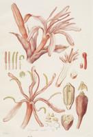 Doryanthes excelsa (details)
