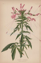 Prickly Cleome Spider Flower Cleome Pungens Botanical Print Meehan 1879