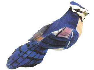 227C0011025 AD MSHRM BLUE JAY 3 BLUE 1PC