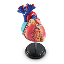 LEARNING RESOURCES MODEL HEART ANATOMY