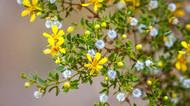 Chaparral Healing Salve, 2 oz