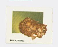 1951 Animals of the World 101 Red Squirrel Very Good to Excellent Grey Back