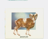 1951 Animals of the World 167 Mouflon Excellent to Mint Grey Back