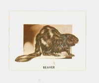 1951 Animals of the World 172 Beaver Very Good to Excellent Grey Back