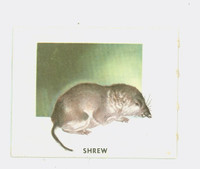 1951 Animals of the World 175 Shrew Very Good to Excellent Grey Back