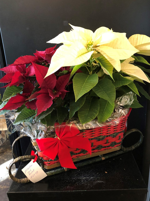 """Christmas Centerpiece - ONE OF A KIND sleigh filled with unusual burgandy and chite poinsettas.  Approximately 21"""" wide x 21"""" tall - ONLY ONE AVAILABLE"""
