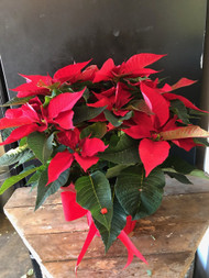 Our biggest red poinsettia garnished with red Christmas ribbon