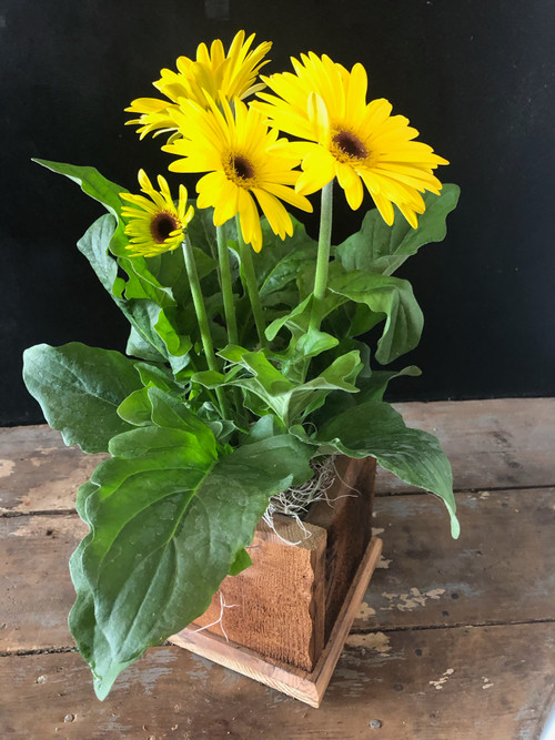 Just in -- Gorgeous Gerbera Daisy delivered in Ozarks hand crafted cedar planter box will make Mom feel so loved!!!  Assorted colors.