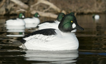 Common Goldeneye Pattern