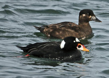 Scoter Decoy Pattern