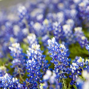 Blue Bonnets // ATX185