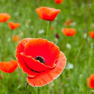 Red Poppy // DTX346