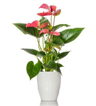 Pink Anthurium Plant (7 flowers)
