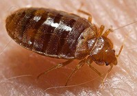 Bed Bug: Cimex lectularius