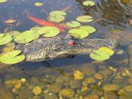 The Gator Float Predator Alligator Decoy Geese Repellent 1 Small BLGatorJR