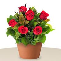 6 Red Rose In A Pot