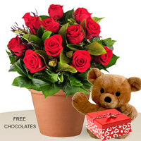 12 Red Roses In Pot, With Teddy, FREE Chocolates